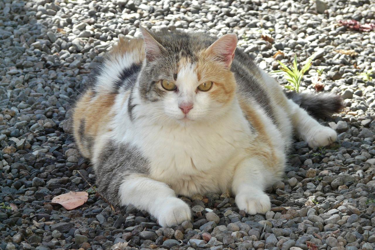 Dajte pozor na obezitu u vašej mačky