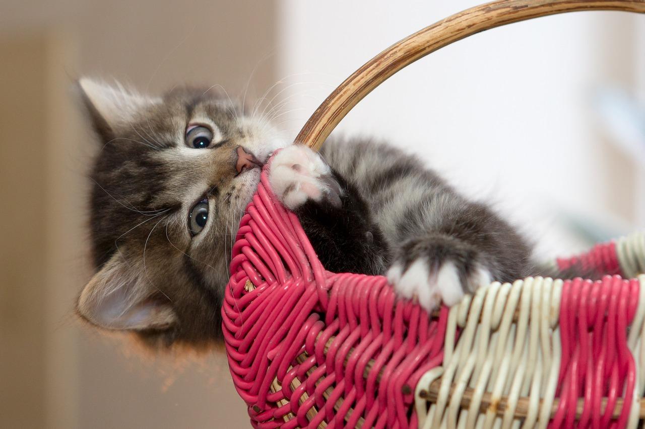 Na čo si dať pozor pri výbere mačiatka?